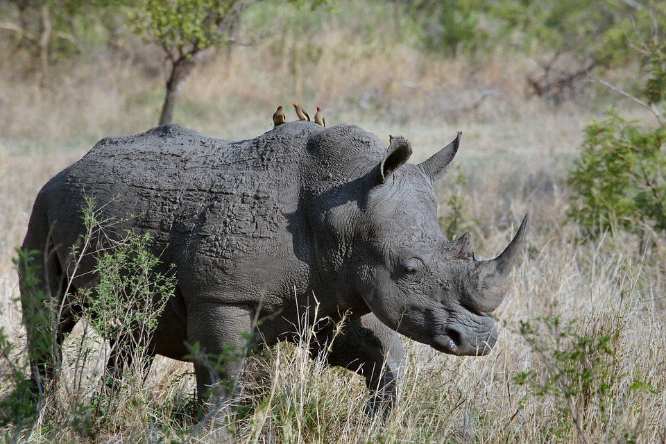 animal-rhinoceros