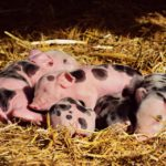 piglet-pigs