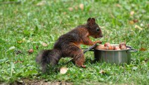 nuts-squirrel