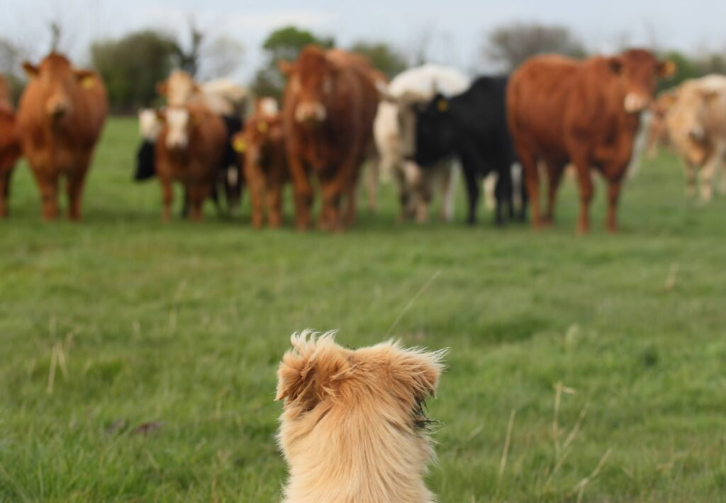 dog and cows